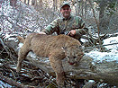 Wyoming Mountain Lion