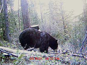 Trophy Black Bear hitting the bait