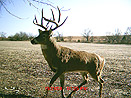 Kansas Whitetail caught on trail camera